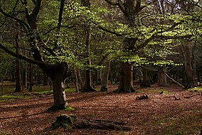 New Forest Wikipedia