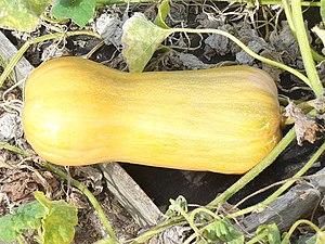 English: Butternut Squash Foot long autumn pro...