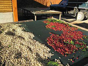 English: Coffee cherries under the sun - San M...