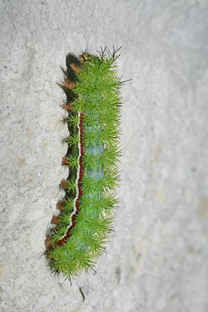 English: Io moth caterpillar seen on the wall ...