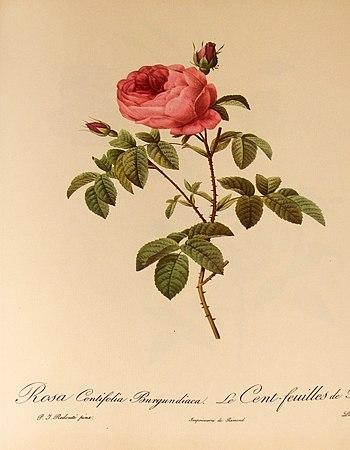 """English: """"Rosa centifolia Burgundiaca&quo..."""