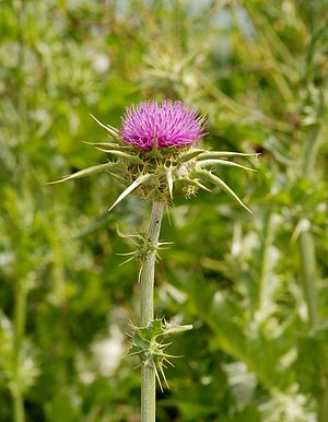 English: Milk Thistle (Silybum marianum)