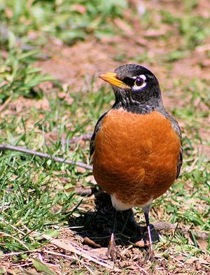 A american robin bird