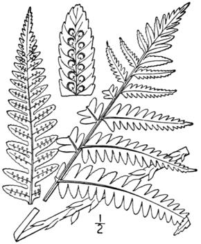 Dryopteris goldiana — Wikipédia