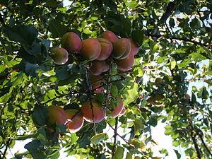 English: peaches, nectarine Magyar: barackok