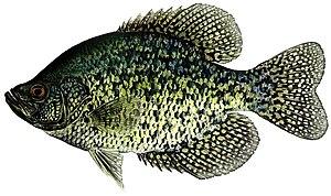 Pomoxis nigromaculatus