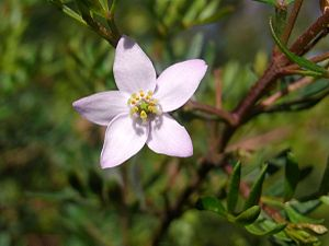 English: Boronia imlayensis, 5 petaled flower....