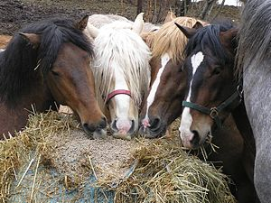 Group of differently coloured Finnhorse stalli...