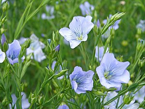 English: Flax The seeds of flax are used to ma...