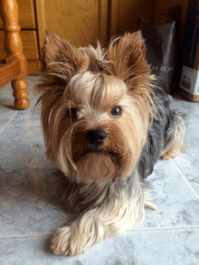 Yorkshire Terrier Wikipedia