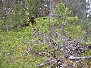 Dead wood in Sjørlægda naturreservat, Vefsn, N...