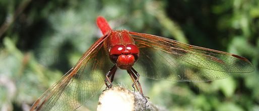 File:Male Flame Skimmer close up.jpg