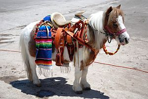 English: Miniature pony for kids to ride at th...