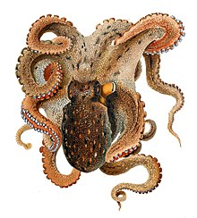 octopus water vascular system diagram auto gauge wiring common wikipedia