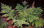 Osmunda regalis, a royal fern