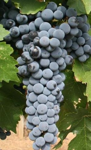 English: Cropped image of Cabernet Sauvignon g...