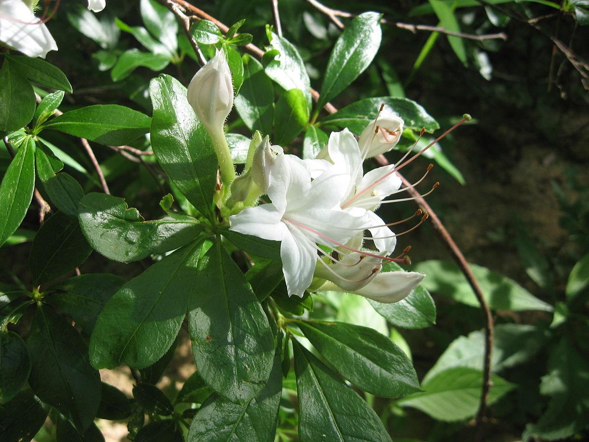 Rhododendron arborescens  Wikipedia