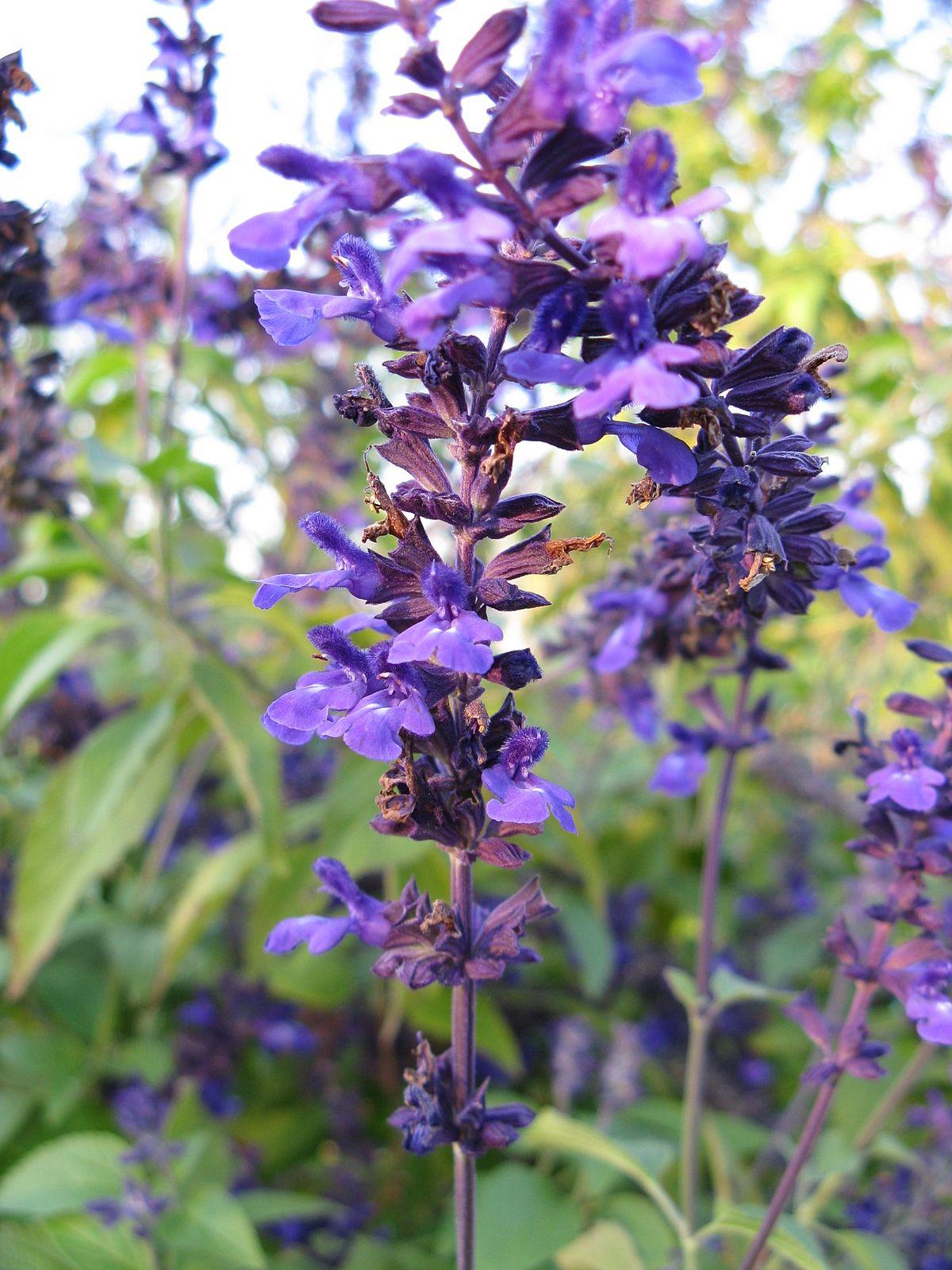 Salvia Indigo Spires Wikipedia