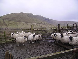 English: Sheep in a Pen At Low Carlingill