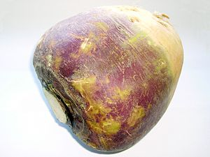 English: A root of rutabaga (Brassica napus su...
