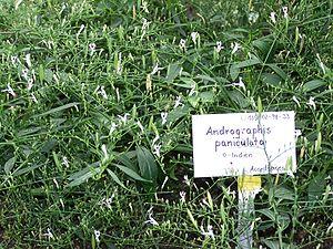 Andrographis paniculata, Botanischer Garten Berlin