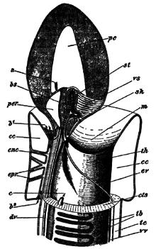 腸鰓類とは - goo Wikipedia (ウィキペディア)