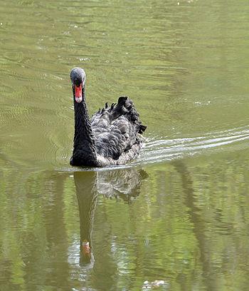 Black swan Nederlands: Zwarte zwaan Français :...