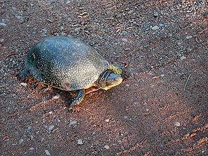 Blanding's Turtle (Emydoidea blandingii), St. ...