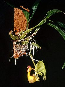 Coryanthes Wikipedia