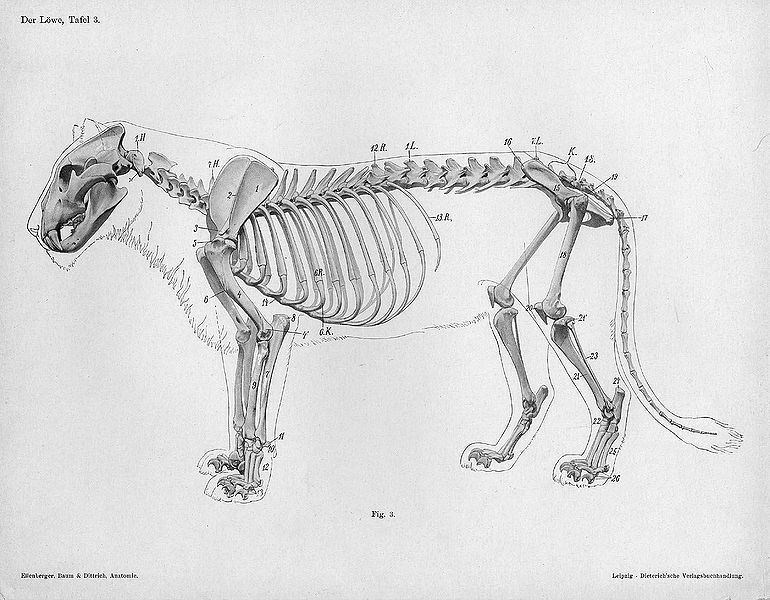File:Lion anatomy lateral skeleton view.jpg