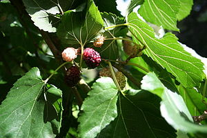 White Mulberry fruits and leaves.