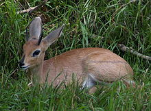 Steenbok Wikipedia