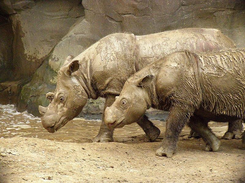 ไฟล์:Sumatran Rhino 2.jpg