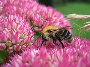 English: Bumble Bee on Sedum