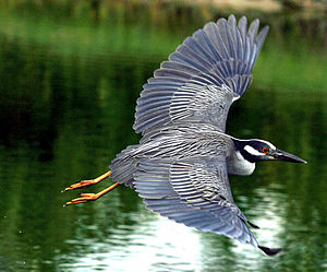 Yellow-crowned Night Heron flying over water.