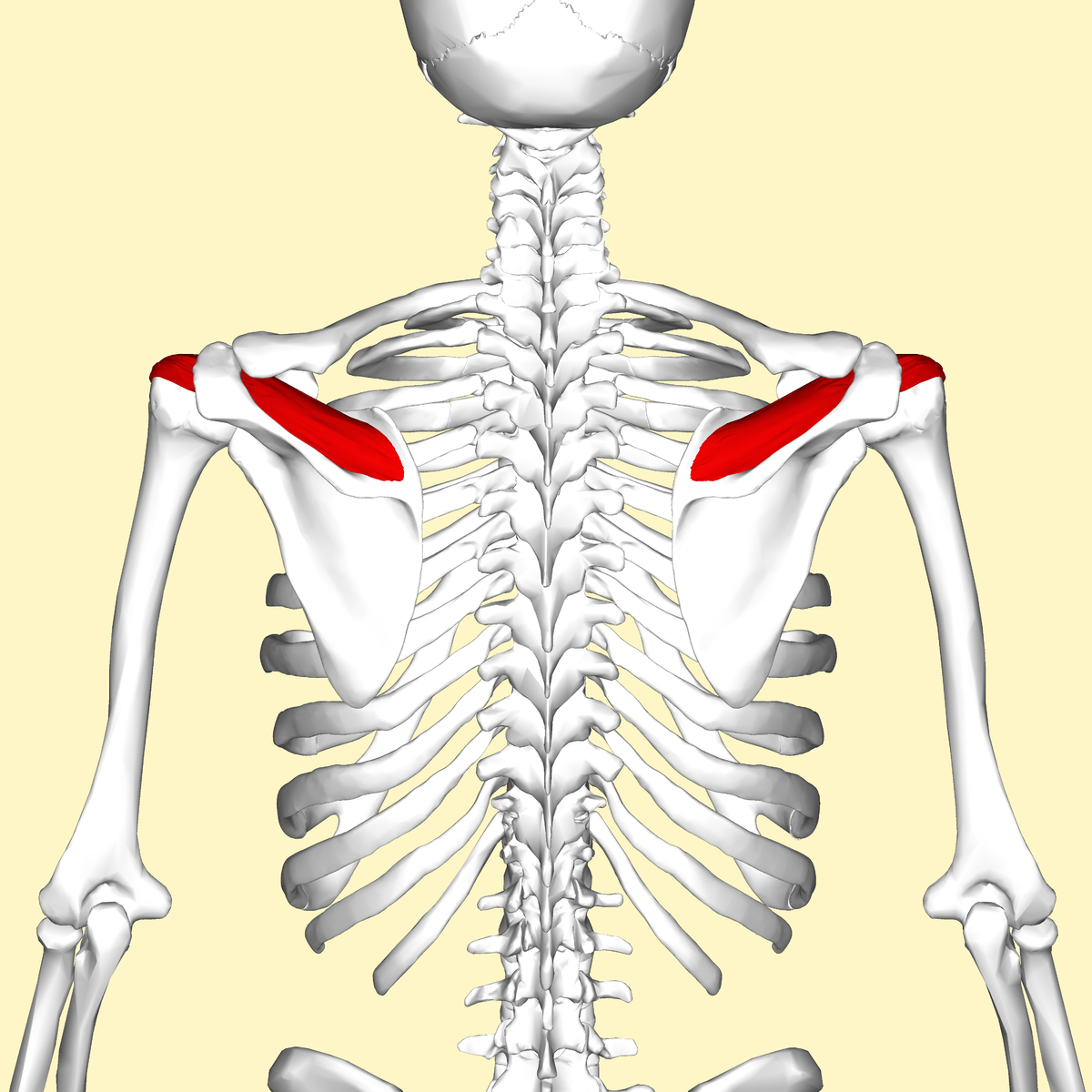 human head and neck muscle diagram labeled msh brain wiring supraspinatus - wikipedia