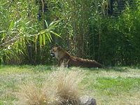 虎獅 - 維基百科,自由的百科全書