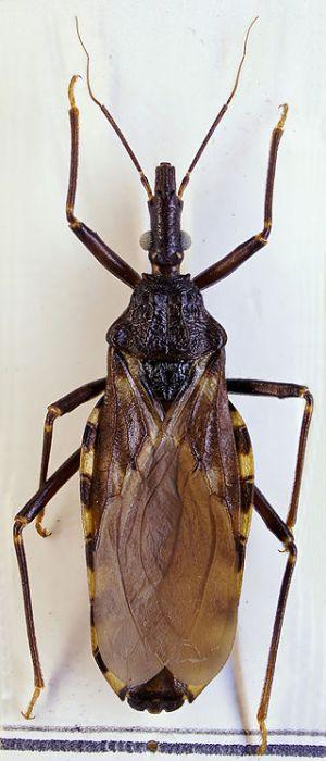 Triatoma infestans - ZSM.jpg