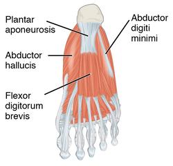 forearm bones diagram wiring 3 switches in one box plantar fascia - wikipedia