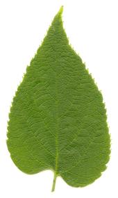 Celtis occidentalis  Wikipedia the free encyclopedia