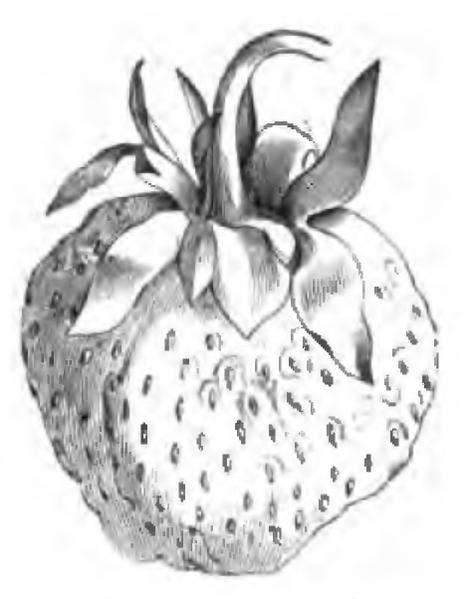 File:Fraise Carolina superba Vilmorin-Andrieux 1883.png