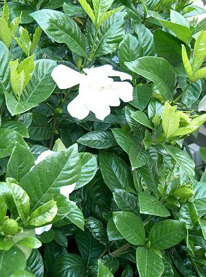 Gardenia jasminoides cv.