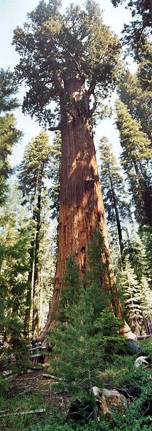 English: General Sherman Tree, Giant Sequoia N...
