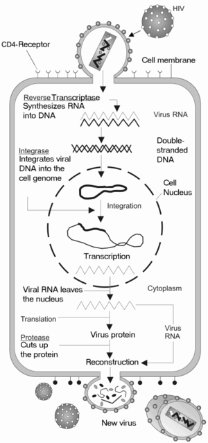 The HIV replication cycle