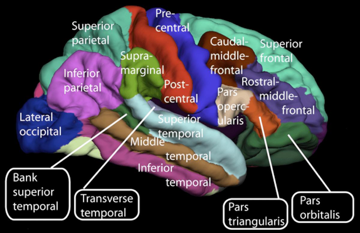 orbital frontal dorsal lateral brain diagram parts of the insula columbia par car wiring cerebral cortex wikipedia