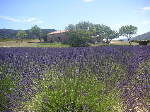 Lavender Field Provence France 021