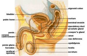 Male genital anatomy, showing the location of ...