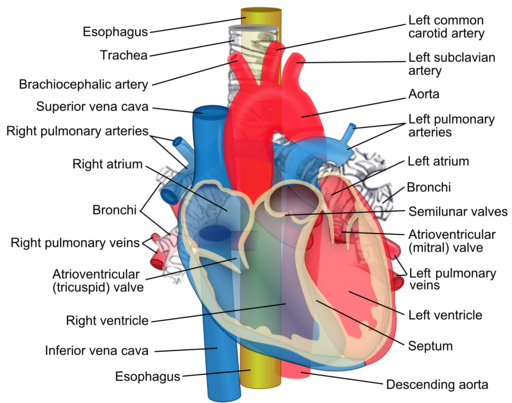 Anatomy of the Heart – EMT Training Station