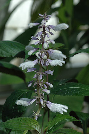 Salvia blue...i still think of you... (3/4)