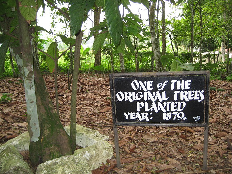 File:Tetteh Quarshie Cocao Farm - One of the original trees, planted 1879.JPG